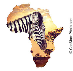 Zebra portrait on african sunset with acacia background. Map...