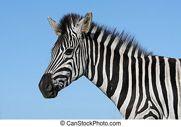 Zebra Portrait - Portrait of a striking Burchell\'s zebra...