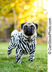 A pug dressed in his best zebra suit.