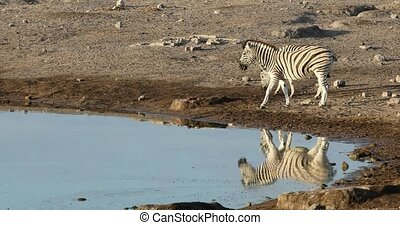 Morning reflection in water of Burchell's zebra in Etosha national Park, Namibia wildlife wildlife safari