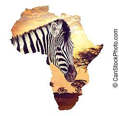 zebra, retrato, en, africano, ocaso, con, acacia, fondo., mapa, continente, de, áfrica., fauna y, desierto, mapa, de, áfrica, concepto