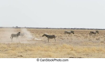 Zebra rolling on dusty white sand and taking bath in dust,...