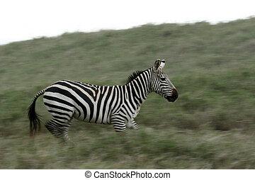 Zebra Running - Serengeti Safari, Tanzania, Africa
