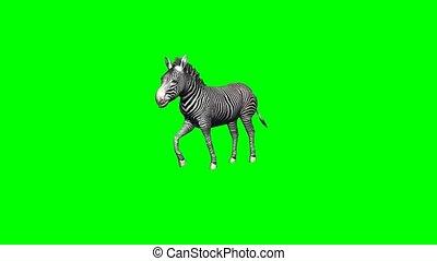 zebra runs without shadow - 2 different views - green screen