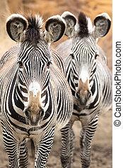 zebra, salvaje