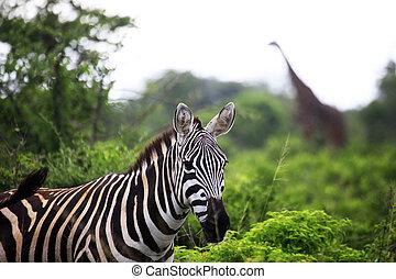 zebra, savane