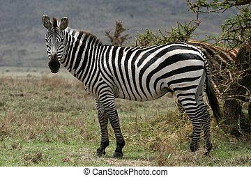 Zebra - Serengeti Safari, Tanzania, Africa