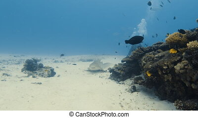 Zebra shark on the ocean floor - A wide shot of a zebra...