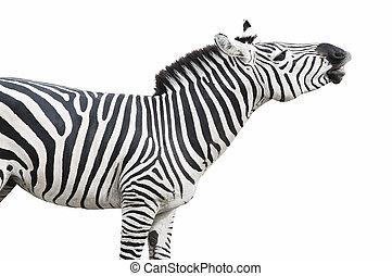 Zebra singing pose cutout