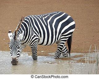 zebra, spragniony