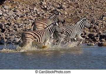 Zebra stampede, Okaukeujo waterhole, Etosha National Park,...