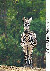 zebra standing alone