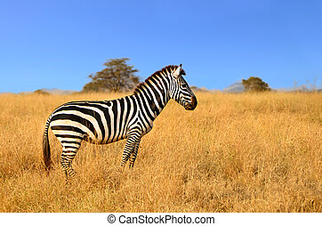 Zebra standing in Grass on Safari watching curiously