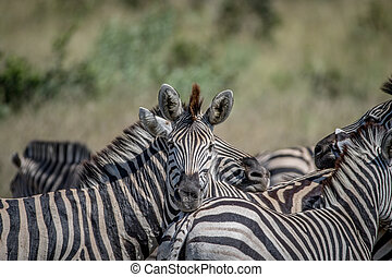 Zebra starring at the camera in Chobe. - Zebra starring at...
