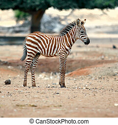 zebra - Young male zebra in zoo