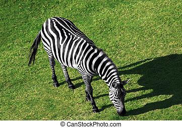 Zebra - Aerial view of a grazing zebra