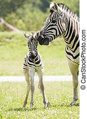 Zebra - A mother zebra taking care of her baby