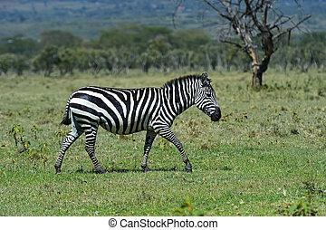 Zebra on the savannah in their natural habitat