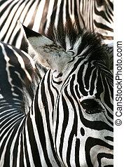 zebra, struttura