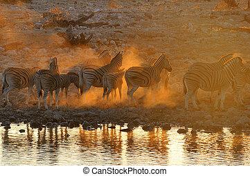 Zebra sunset at Okaukeujo, Namibia