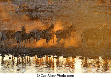 Zebra sunset at Okaukeujo, Namibia