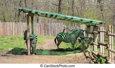 Zebra Tail Wagging - Two zebras are wagging tail, at a...