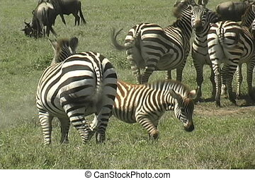 zebra, troupeau