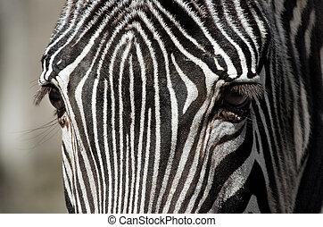 Zebra up close - Portrait of a Zebra