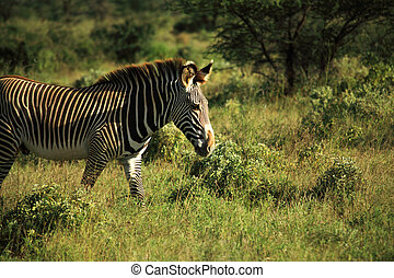 Zebra walking through the grass
