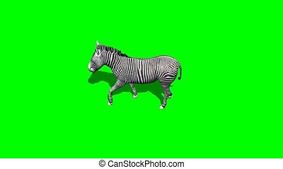 zebra walks with and without shadow - green screen