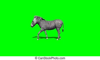 zebra walks with shadow - 2 different views - green screen