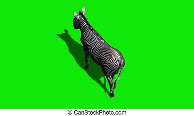 Zebra walks with shadow - green screen