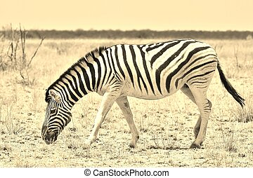 A Burchell's zebra, photographed in sepia tone, wanders a great plain in the freedom and wilds of Africa.