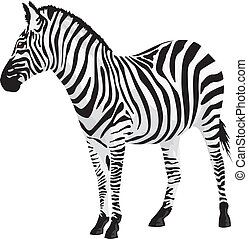 zebra., wektor, illustration.