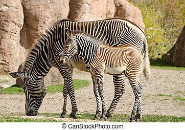 Zebra with a baby