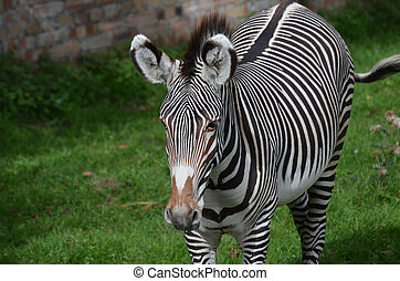 Zebra with Bold Markings and Brown on His Nose
