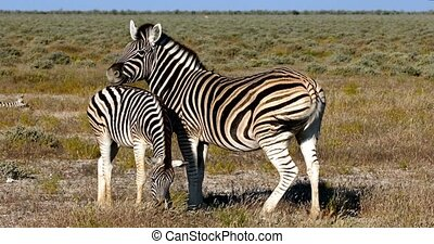 Zebra with calf Etosha, Namibia, Africa safari wildlife -...