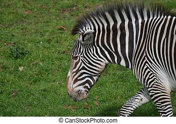 Zebra with his Ears Pinned as He Roams