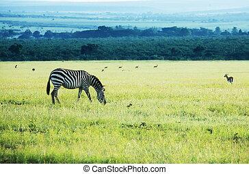 Zebra - zebra