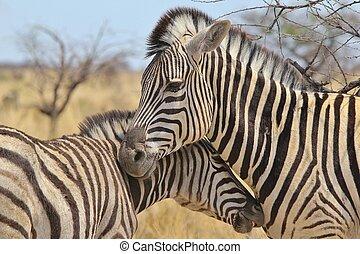 zebra, -, zwierzę, miłość