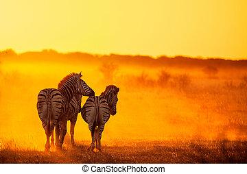 zebraer, ind, solnedgang