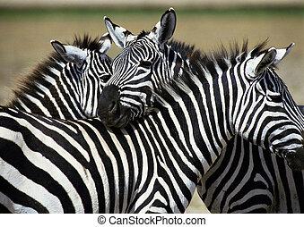 Zebras - Africa, Tanzania, zebras