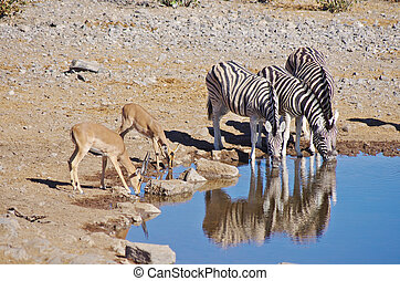 Zebras and gazelle drinking