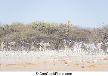 Zebras and Giraffe at Etosha National Park, travel destination in Namibia. Dust, soft light.