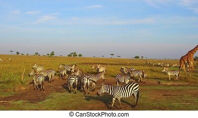 zebras and giraffe grazing in savanna at africa