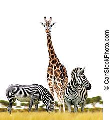 Zebras and giraffe on white background.