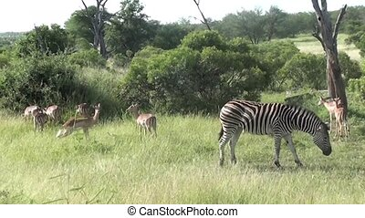 zebras and impalas in kruger national park