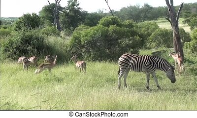 zebras and impalas in kruger national park in south africa durng safari
