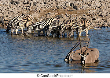 Zebras and Oryx drinking water, Okaukeujo waterhole