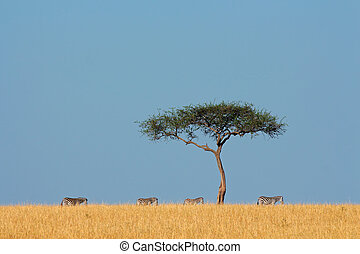 Zebras and tree - Plains zebras (Equus burchelli) and tree,...